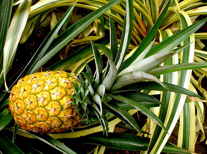 pineapple Nang-Lae